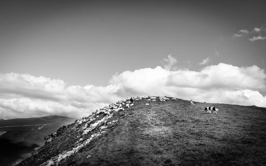 photo noir et blanc un berge et son troupeau mouton au mont Monts Parâng, Roumanie