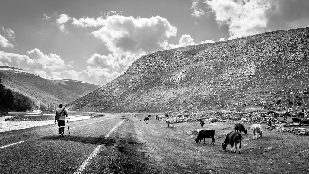 photo noir et blanc d'un berger et son troupeau de vache Turquie