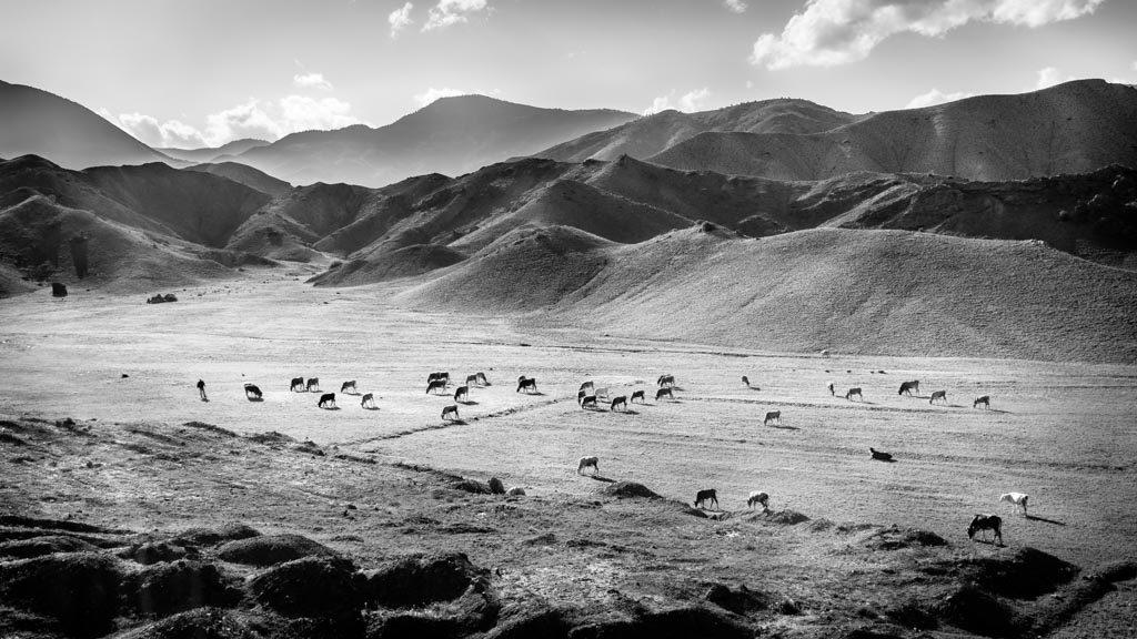 photo noir et blanc troupeaux de vache Turquie